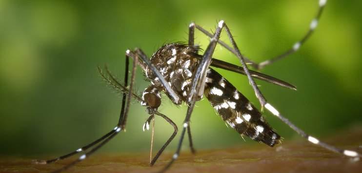 Asiatische Buschmücken ähneln Tigermücken, sind von diesen aber zu unterscheiden, weil sie nur drei weisse Ringe an den Hinterbeinen haben. Tigermücken haben fünf Ringe. (Symbolbild: Pixabay.com/WikiImages)