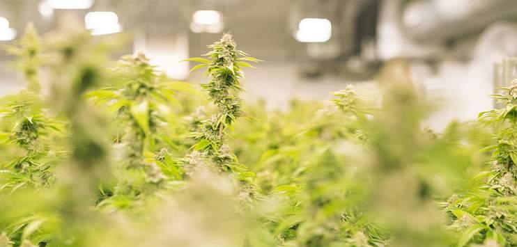 Die Schaffhauser Regierung will Cannabis-Pilotversuche erlauben. (Bild: Cannamedical Pharma GmbH)